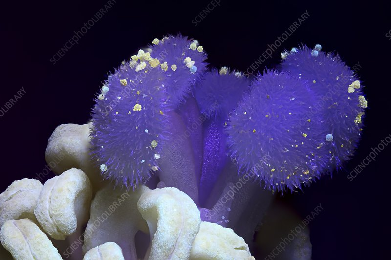 Hibiscus flower reproductive organs in UV light