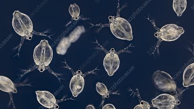 Water fleas, light micrograph