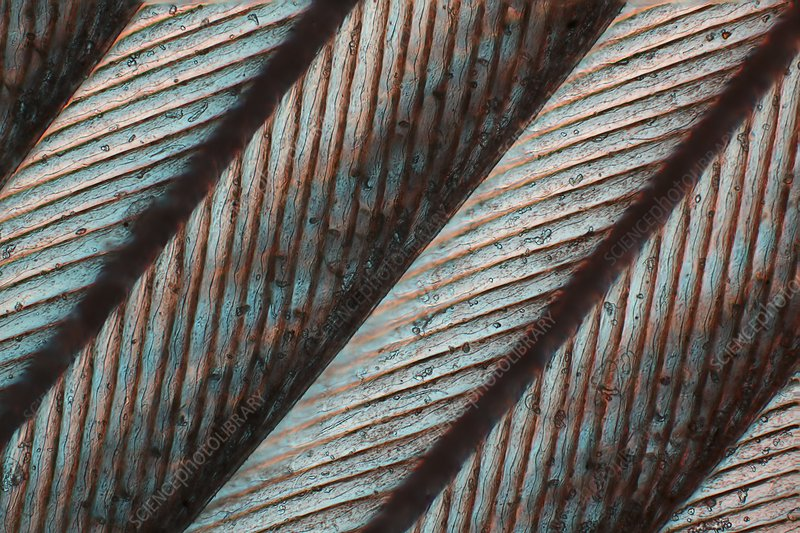 Bird feather, light micrograph