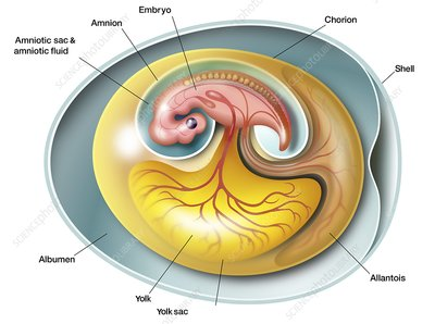 Amniote embryo anatomy, illustration