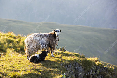 A Herdwick sheep and lamb on Red Screes, UK