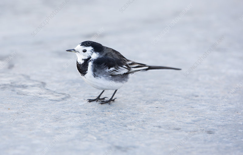 A Pied Wagtail on the deck of the Windermere Ferry, UK