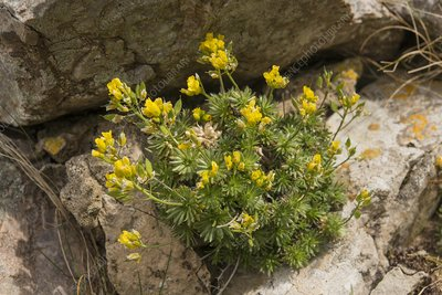 Yellow whitlow-grass (Draba azoides), Gower, Wales, UK