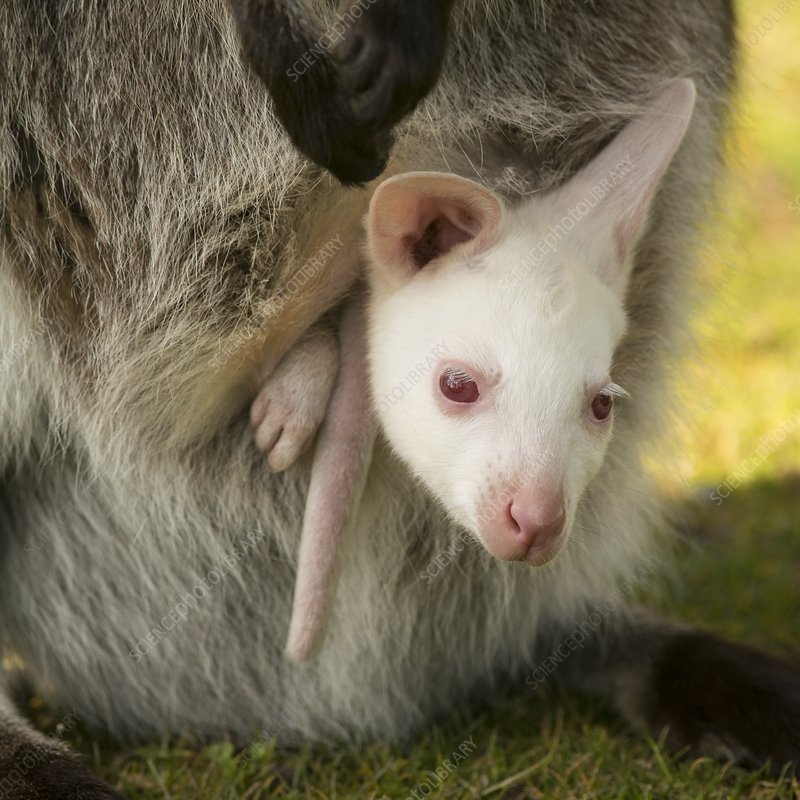 Red-necked wallaby with albino young