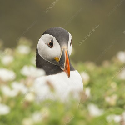 Puffin in sea campion on Skomer Island, Pembrokeshire, UK