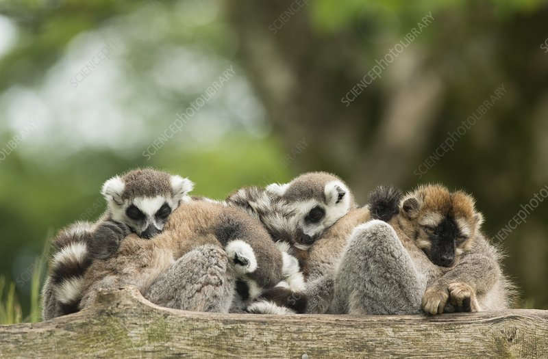 Captive ring-tailed lemur and red ruffed lemur