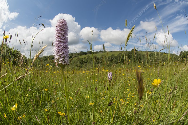 Common spotted orchid (Dactylorhiza fuchsii), Wales, UK