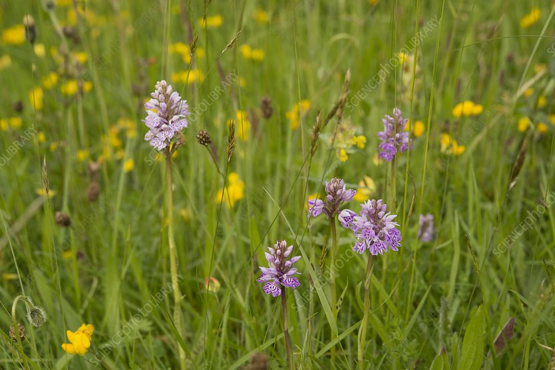 Common spotted orchids (Dactylorhiza fuchsii), Wales, UK