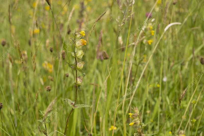 Yellow rattle (Rhinanthus minor) flowering spike, UK