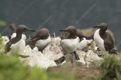 Guillemots on Skomer Island, UK