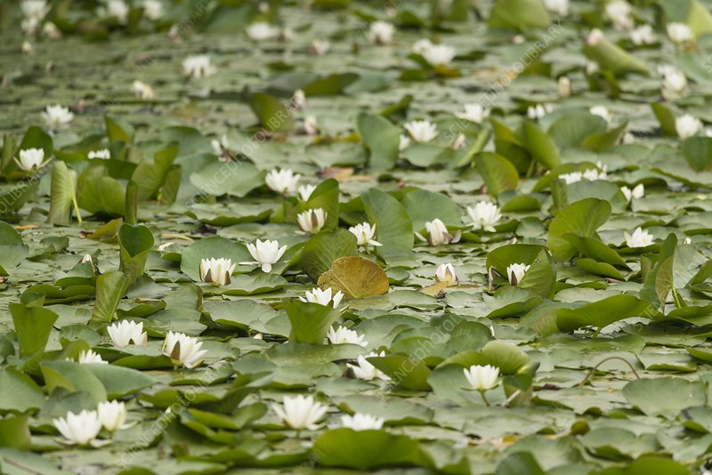 Water lilies (Nymphaea alba), Pembrokeshire, Wales, UK