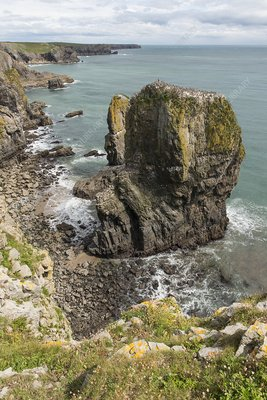 Guillemot colony, Elegug Stack, Wales, UK