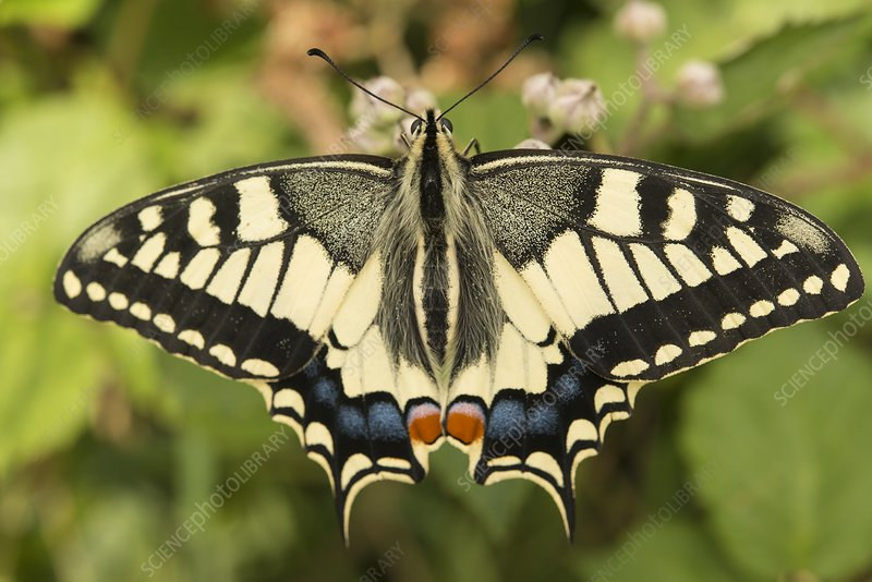 Swallowtail butterfly (Papilio machaon), Brittany, France