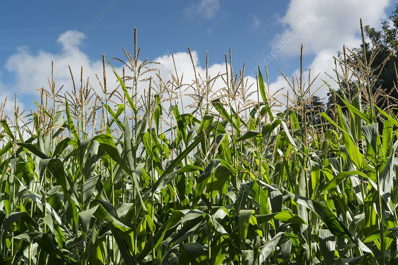 Field of maize or corn