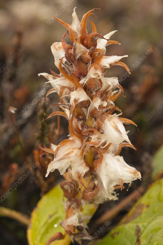 Broomrape (Pedicularis groenlandica) flower, Greenland