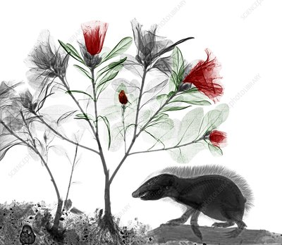 Hedgehog and azaleas, X-ray