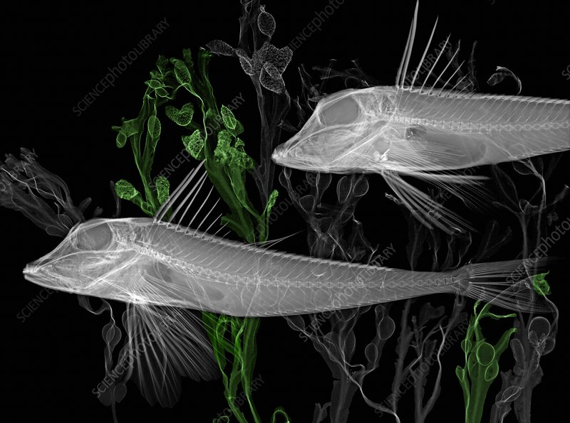 Gurnard fish, X-ray