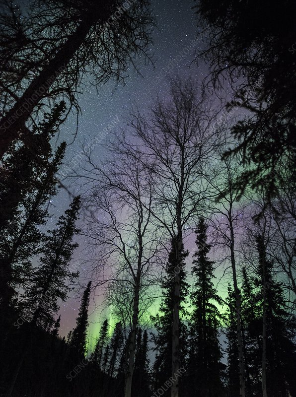 Trees and aurora in Alaska