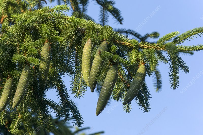 Immature cones on Norway spruce (Picea abies)