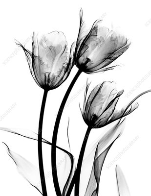 Tulip (Tulipa sp.) flowers, X-ray