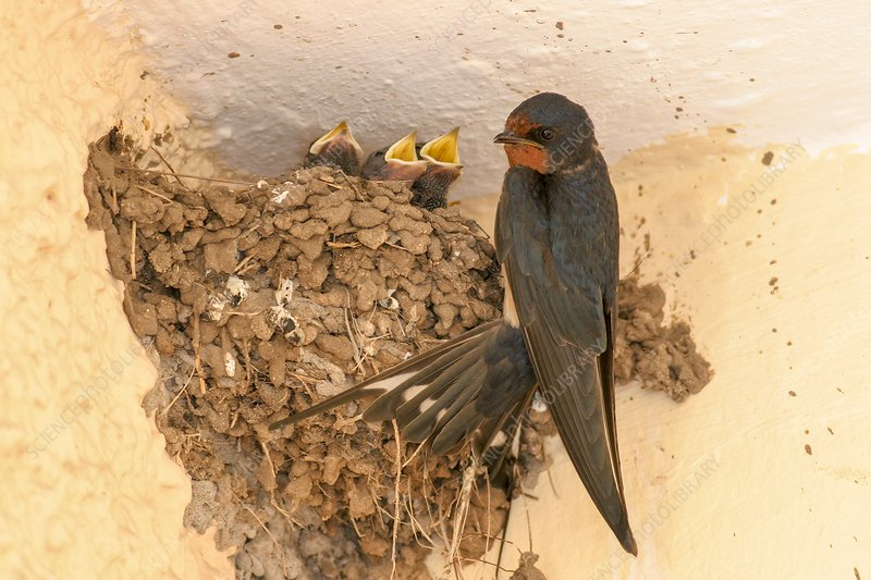 Barn swallow with hatchlings