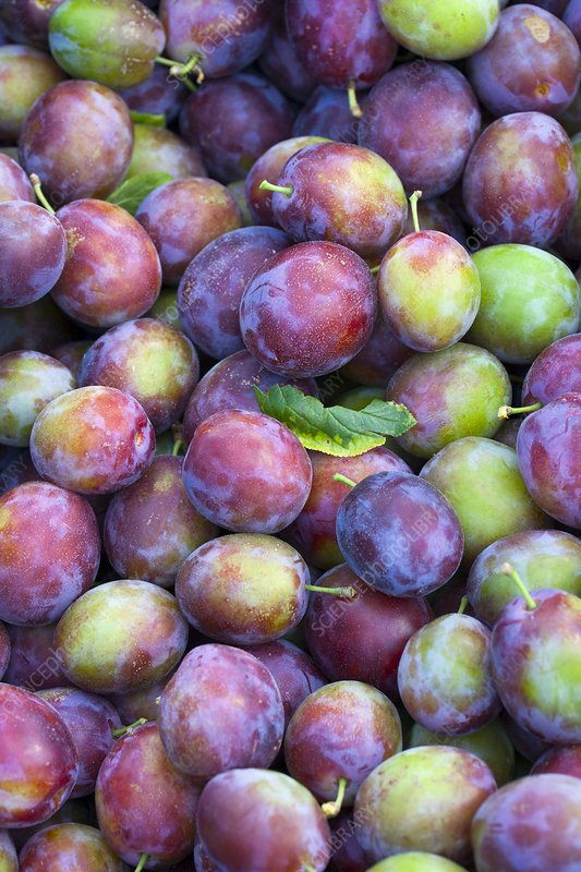 Harvested Victoria plums