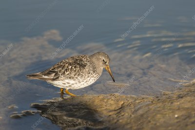 Purple sandpiper foraging along shoreline, Svalbard
