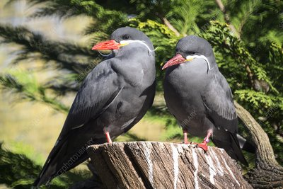 Inca tern breeding pair