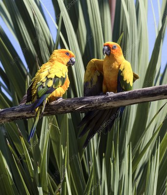 Sun parakeet breeding pair