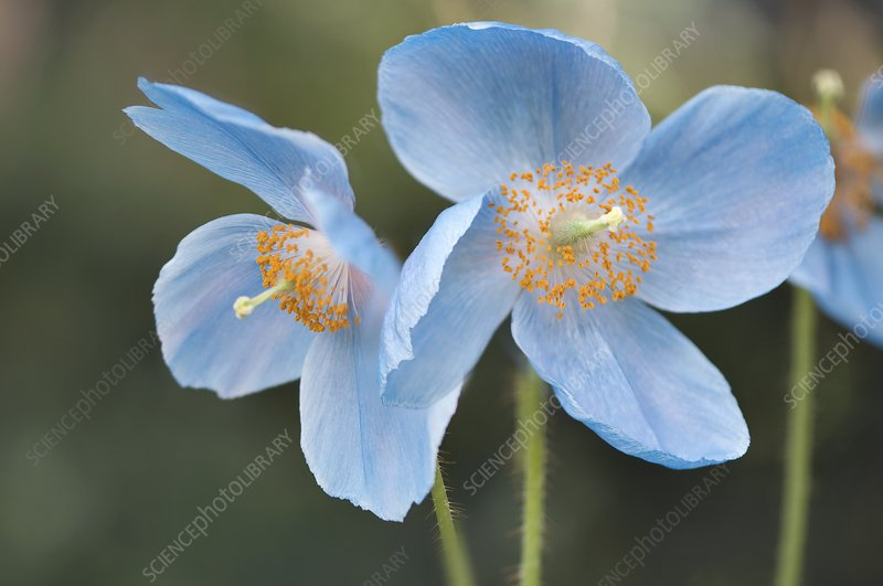 Himalayan Poppy (Meconopsis sp.)