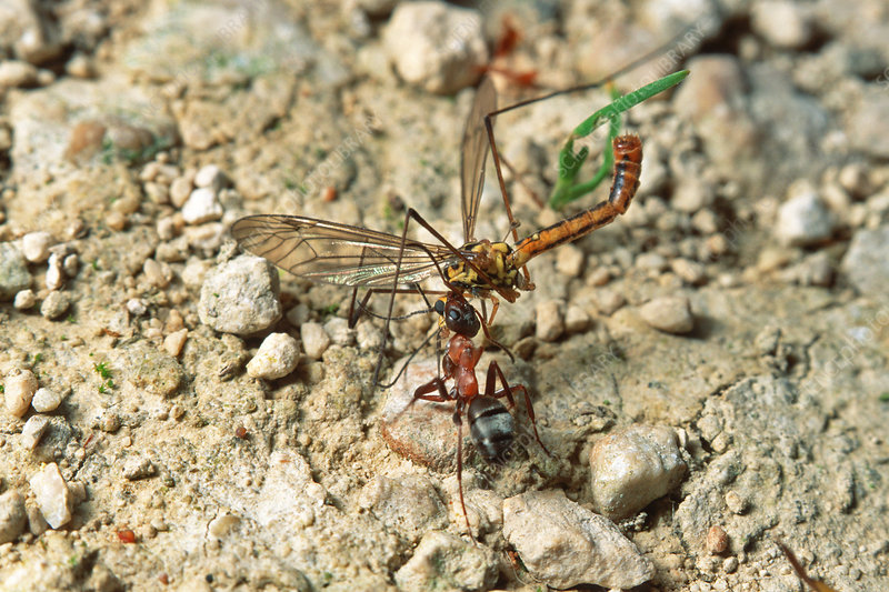 Red wood ant and dragonfly prey