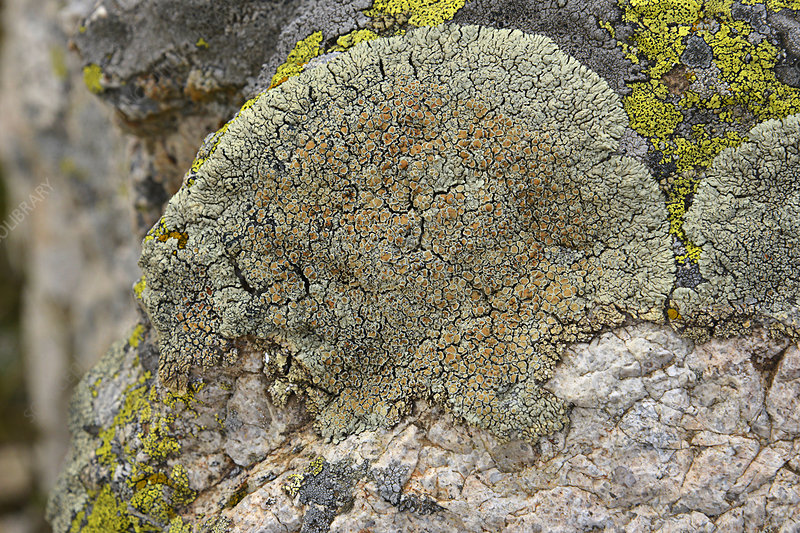 Lichen fruiting bodies