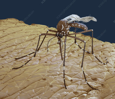 Yellow fever mosquito on human skin, SEM