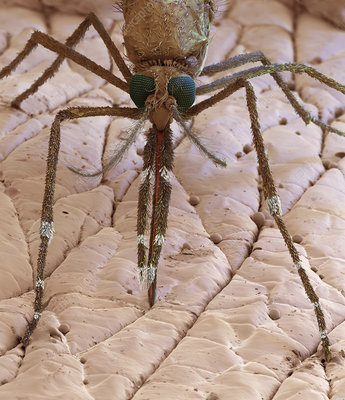 Anopheles mosquito on human skin, SEM