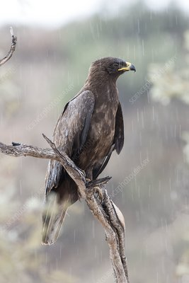Wahlberg's eagle perched in the rain