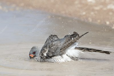 Gabar goshawk bathing