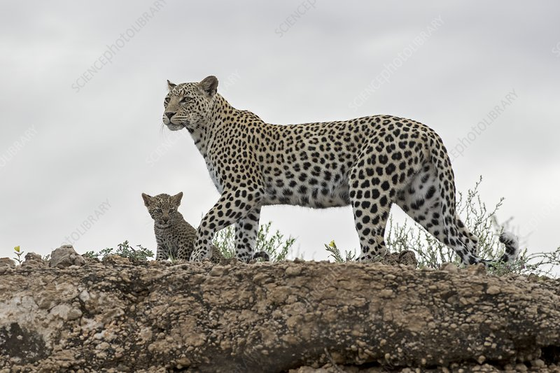 Adult female leopard with cub