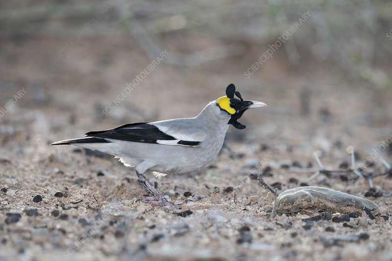 Male wattled starling