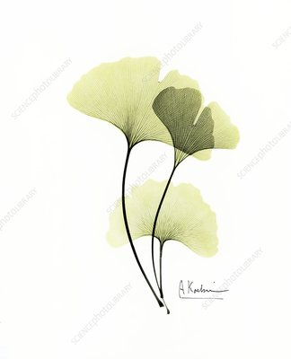 Ginkgo biloba leaves, X-ray