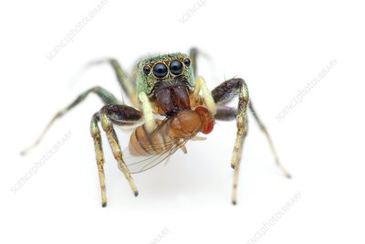 Jumping spider eating a fruit fly