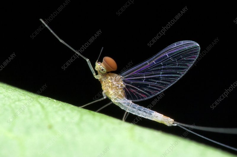 Male mayfly