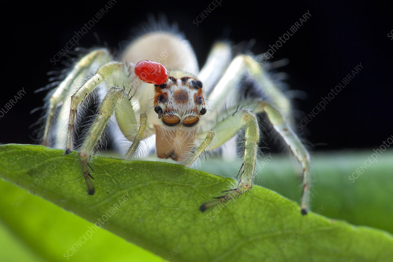 Parasitic mite on a jumping spider