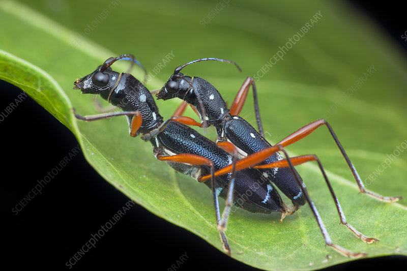 Longhorn beetles mating
