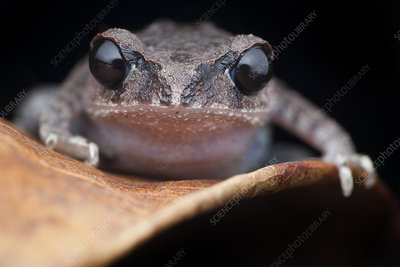 Black-eyed litter frog