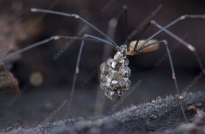 Cellar spider carrying eggs with parasites