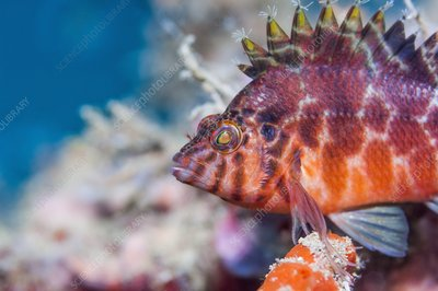 Spotted hawkfish on reef
