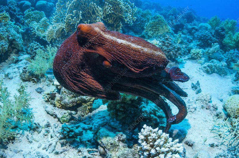 Day octopus swimming over a reef