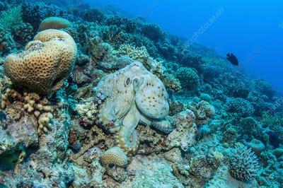 Day octopus camouflaged on a reef