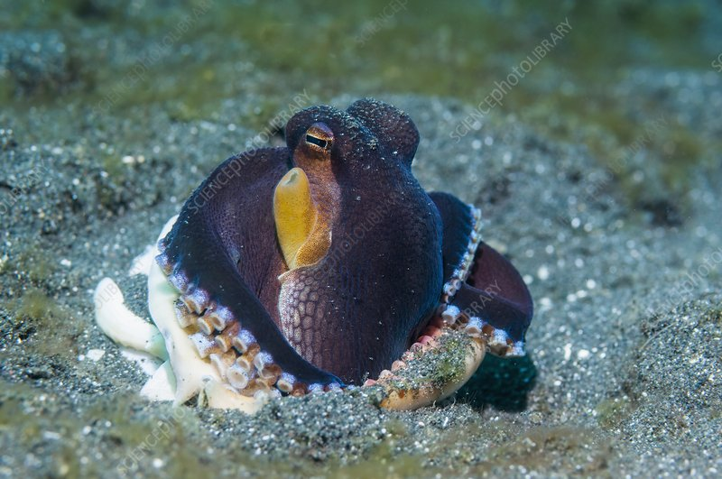 Veined octopus burrowing into sand