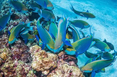 Greenthroat parrotfish grazing on reef
